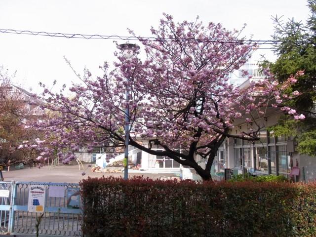 20100421うちの前の桜