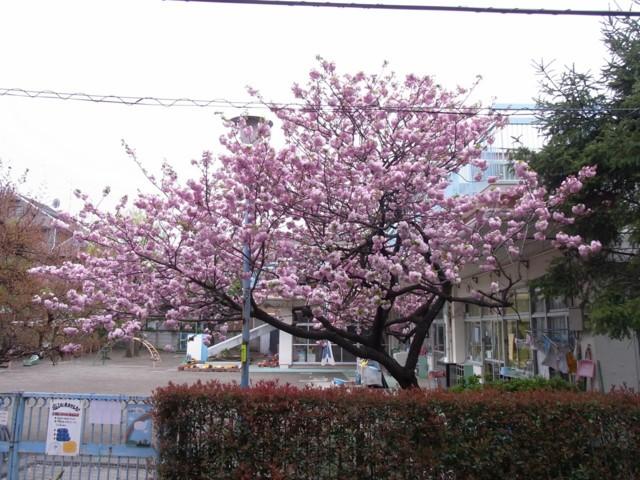 20100422うちの前の桜