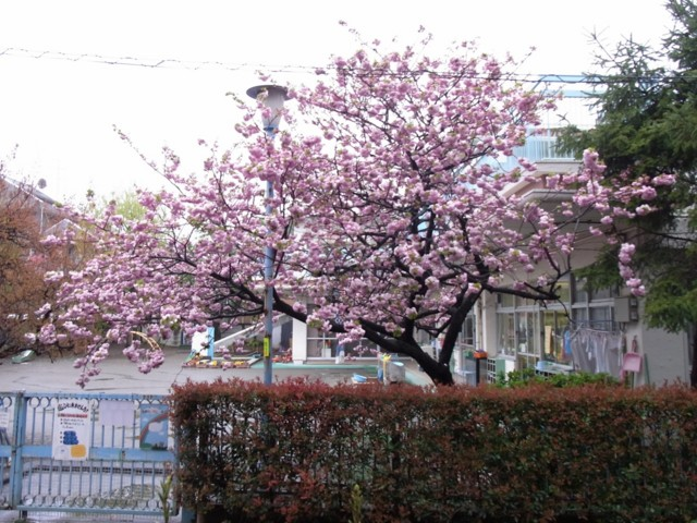 20100423うちの前の桜