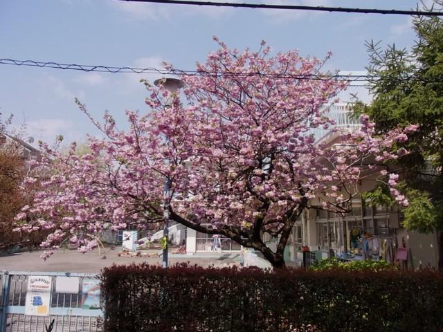 20100424うちの前の桜
