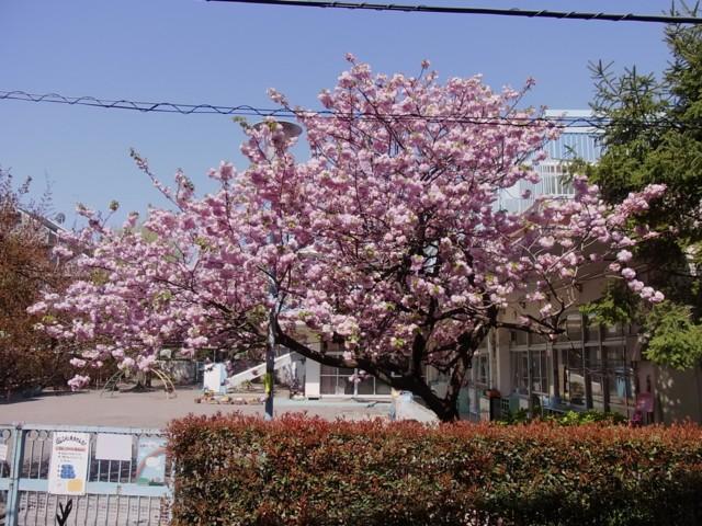 20100425うちの前の桜