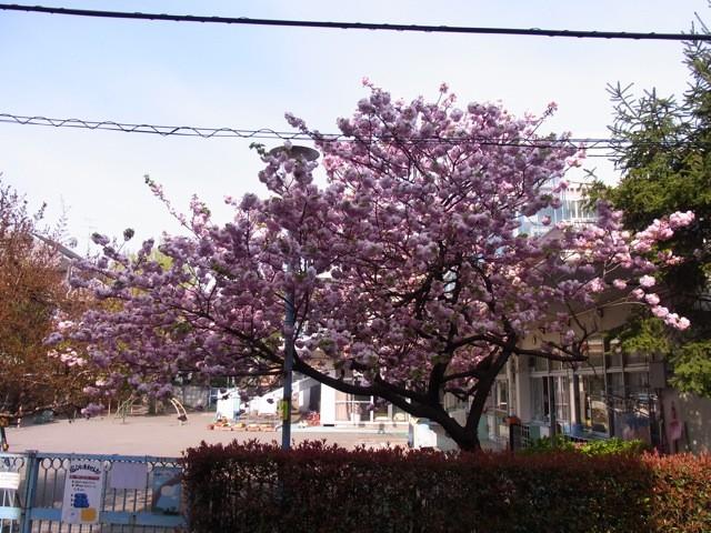 20100426うちの前の桜