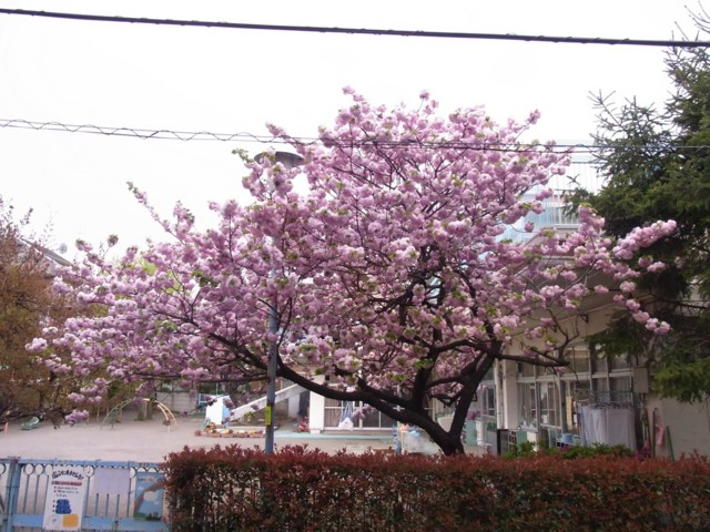 20100427うちの前の桜