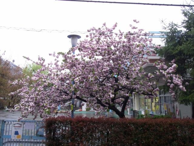 20100428うちの前の桜