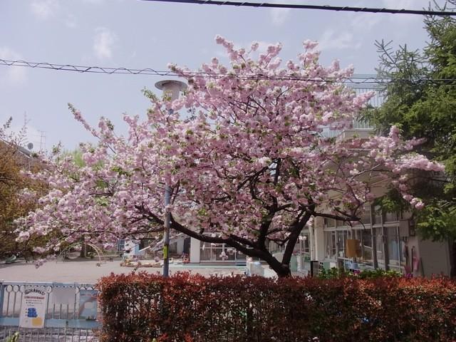 20100429うちの前の桜とハナミズキ