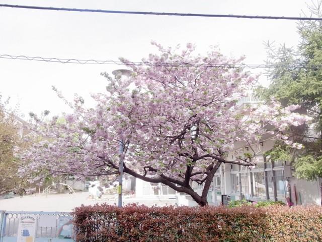 1272582085*20100430うちの前の桜