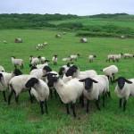 今年は『羊』年。明けましたm(._.)m