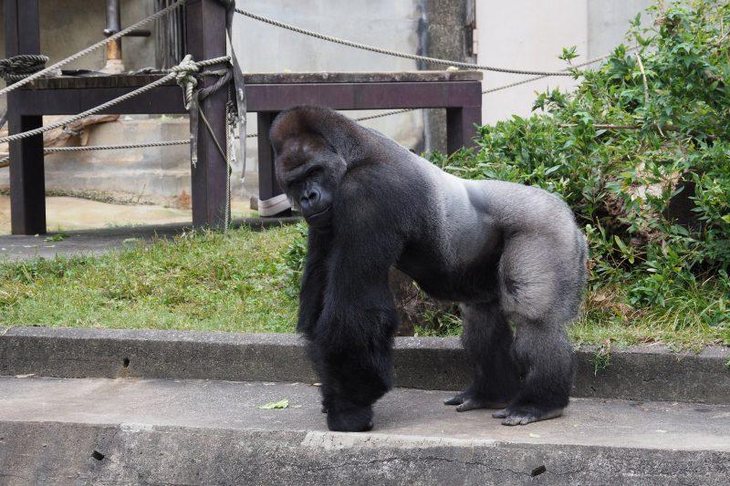 【名古屋旅行】イケメンゴリラに巷で話題なヤツを観に東山動物園へ!