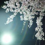 朝昼晩、桜求めてさくら歩きmini。