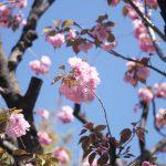 ソメイヨシノは散りきって、高松保育園の八重桜。