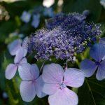 紫陽花いろいろ。