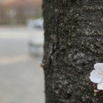 今年は早め?な桜開花模様。