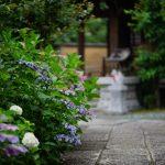池袋紫陽花歩きなカメラ散歩【法明寺玄静院】
